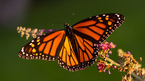 Monarch Butterfly. A Monarch butterfly spreads its wings and shows its beautiful color as it drinks nectar from a butterfly bush flower royalty free stock photo