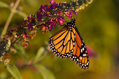 Monarch Butterfly on a Butterfly Bush. A Monarch butterfly spreads its wings and shows its beautiful color as it drinks nectar from a butterfly bush flower royalty free stock image