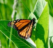 A Monarch Butterfly. This is a Spring picture of a Monarch Butterfly in the Montrose Point Bird Sanctuary on Lake Michigan located in Chicago, Illinois in Cook royalty free stock photos