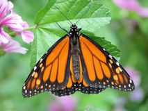 Monarch Butterfly. Spring time Monarch butterfly on spring blooms. Singularly focused on the butterfly and leaf it's standing on stock photos