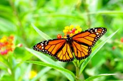 Monarch butterfly. Standing on milkweed in a South Florida garden stock photos