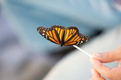 Monarch butterfly on a stick stock images