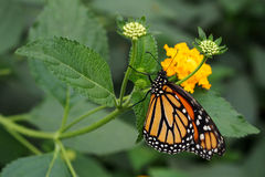 Monarch butterfly sucking nectar Royalty Free Stock Image