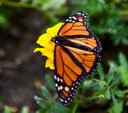 A Monarch Butterfly. This is a Summer picture of a Monarch Butterfly on the Peck Family Farm located in Geneva, Illinois in Kane County.  This picture was taken stock photography