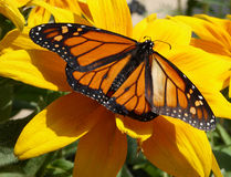 Monarch butterfly on sunflower. Majestic monarch butterfly rests on a sunflower royalty free stock image
