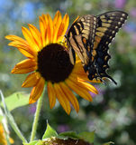 Monarch Butterfly on a Sunflower Royalty Free Stock Photo