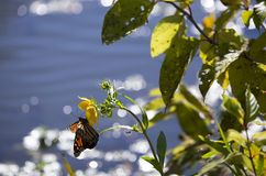 Monarch butterfly on a sunflower. With water in the background during the autumn season stock photo