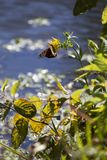 Monarch butterfly on a sunflower. With water in the background during the autumn season stock image