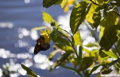 Monarch butterfly on a sunflower. With water in the background during the autumn season royalty free stock photos