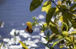 Monarch butterfly on a sunflower. With water in the background during the autumn season stock images
