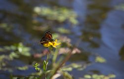 Monarch butterfly on a sunflower. With water in the background during the autumn season royalty free stock photo