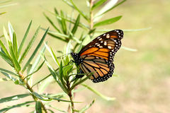 Monarch butterfly on swan plant Stock Images