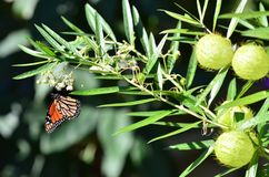 Monarch Butterfly on Swan Plant Royalty Free Stock Image