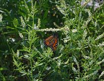 Monarch Butterfly On Sweet Clover Stock Photography