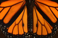 Monarch Butterfly. The symmetry of butterfly wings is shown in a Monarch Butterfly stock image
