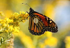 Monarch butterfly with tag Stock Photos