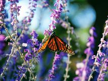 Monarch Butterfly Texas Migration Rest royalty free stock photo