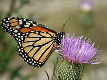 Monarch Butterfly on Thistle. Monarch butterfly sitting on a flowering purple thistle Royalty Free Stock Photo