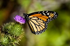 Monarch Butterfly on a Thistle. Closeup of a monarch butterfly on a thistle flower Royalty Free Stock Image