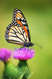 Monarch Butterfly on Thistle flower close up. A Monarch butterfly poised for nectar on a Thistle blossom Royalty Free Stock Image