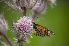 Monarch Butterfly on a Thistle. Monarch butterfly Danaus plexippus perched on a thistle weed stock images