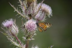 Monarch Butterfly on a Thistle. Monarch butterfly (Danaus plexippus) perched on a thistle weed royalty free stock photography