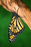 A Monarch Butterfly On Timber stock image