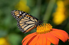Monarch Butterfly. On Tithonia diversifolia or Mexican sunflower. The monarch is a milkweed butterfly in the family Nymphalidae and is threatened by severe royalty free stock image