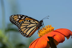 Monarch Butterfly. On Tithonia diversifolia or Mexican sunflower. The monarch is a milkweed butterfly in the family Nymphalidae and is threatened by severe stock photography
