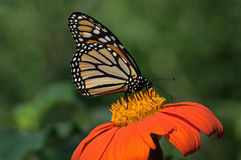 Monarch Butterfly. On Tithonia diversifolia or Mexican sunflower. The monarch is a milkweed butterfly in the family Nymphalidae and is threatened by severe royalty free stock images