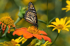 Monarch Butterfly. On Tithonia diversifolia or Mexican sunflower. The monarch is a milkweed butterfly in the family Nymphalidae and is threatened by severe royalty free stock photography
