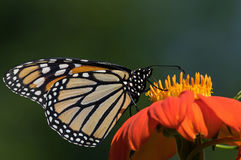 Monarch Butterfly. On Tithonia diversifolia or Mexican sunflower. The monarch is a milkweed butterfly in the family Nymphalidae and is threatened by severe royalty free stock photo