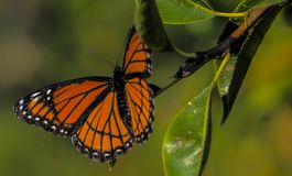 Monarch Butterfly, Toronto, Ontario, Canada royalty free stock photography