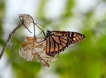 Monarch butterfly on tree branch. Beautiful, orange, Monarch butterfly camouflaged on a dried up leaf on tree branch, with light filtering through a green stock image