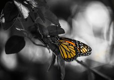 Monarch Butterfly in Tropic. Playa Del Carmen, Mexico - 05/17/2017 - Monarch Butterfly in Tropic stock photo