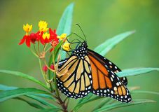 Monarch Butterfly on Tropical Milkweed. A Monarch rests on a Tropical Milkweed plant royalty free stock images