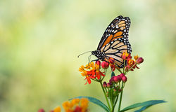 Monarch butterfly on tropical milkweed flowers. Monarch butterfly (Danaus plexippus) feeding on tropical milkweed flowers in the fall. Natural green background Stock Image
