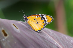 Monarch Butterfly. Tropical Monarch Butterfly sitting on a leaf Royalty Free Stock Photos
