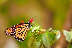 Monarch butterfly (underside) royalty free stock photography