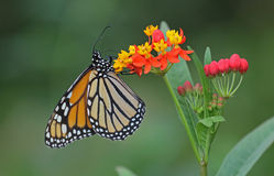 Monarch butterfly. Underwing shot of a Monarch butterfly royalty free stock images
