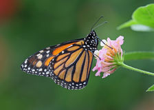 Monarch butterfly. Underwing shot of a Monarch butterfly stock image