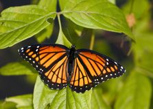Monarch butterfly up-close. Orange butterfly in green leaves Royalty Free Stock Photo