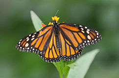 Monarch butterfly. Upperwing shot of a Monarch butterfly royalty free stock photo