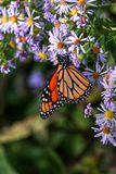 Monarch Butterfly Vertical stock photos