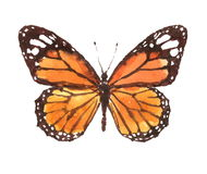 Monarch Butterfly Watercolor Hand Drawn. Hand drawn illustration of Monarch Butterfly Insect isolated on white background Stock Photos