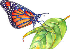 Monarch butterfly. Watercolor of a vibrant monarch butterfly on a leaf Stock Photography