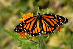 Monarch Butterfly on Butterfly Weed Flowers. A Monarch Butterfly feeds on bright orange Butterfly Weed flowers on a late summer morning stock images