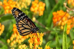 Monarch Butterfly on Butterfly Weed Flowers. A Monarch Butterfly feeds on bright orange Butterfly Weed flowers on a late summer morning stock photo
