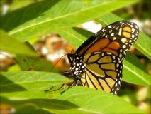 Monarch Butterfly. In West Palm Beach, FL stock photos