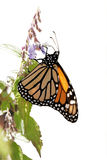 Monarch butterfly over white background stock photography